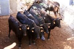 Anti-Taurinos vandalizam Ganadaria Espanhola